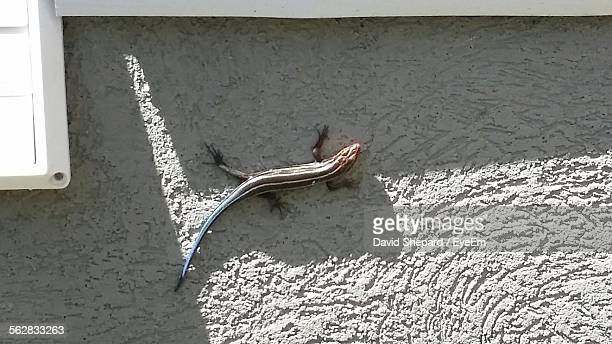 Close-Up Of Lizard On Stucco Wall