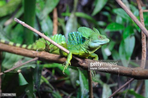close-up of lizard on tree branch - marek stefunko stock photos and pictures