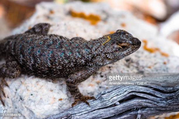 close-up of lizard on wood - mt charleston stock photos and pictures