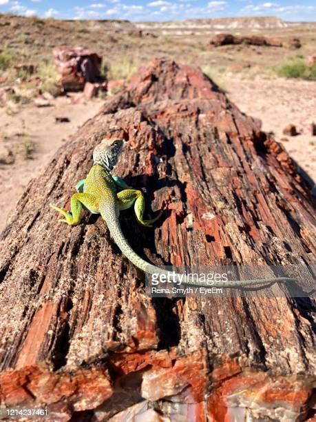 close-up of lizard on wood - petrified log stock pictures, royalty-free photos & images