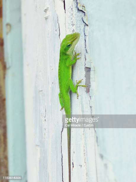close-up of lizard on wooden wall - パホア ストックフォトと画像