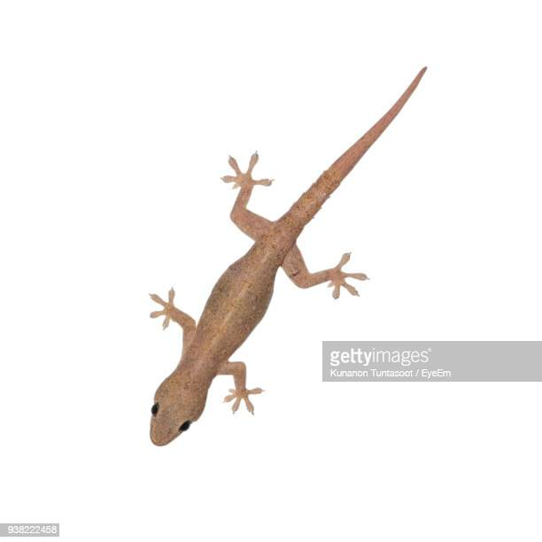 close-up of lizard over white background - lizard stock pictures, royalty-free photos & images