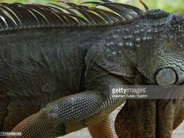 close-up of lizard - solomon turkel stock pictures, royalty-free photos & images