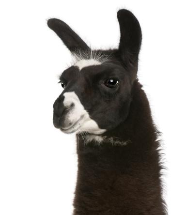 Close-up of Llama, Lama glama, white background. 111774634