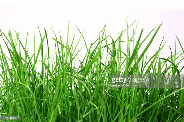 Close-up of long green grass in a white background