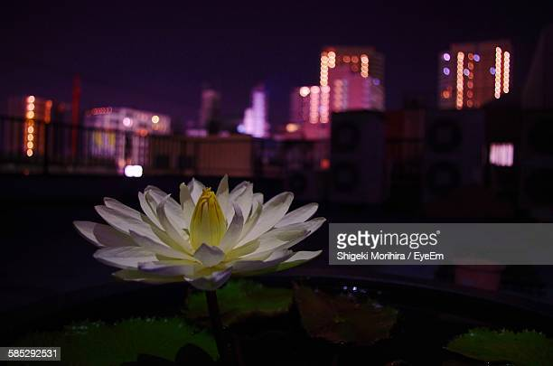 Close-Up Of Lotus Water Lily Floating In Pond Against Illuminated City At Night