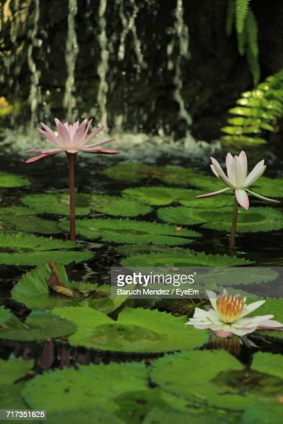 close-up of lotus water lily in lake - barulho stock pictures, royalty-free photos & images