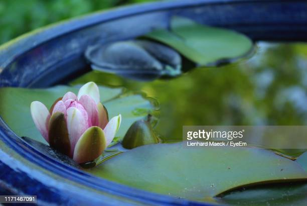 close-up of lotus water lily in pond - lienhard stock pictures, royalty-free photos & images