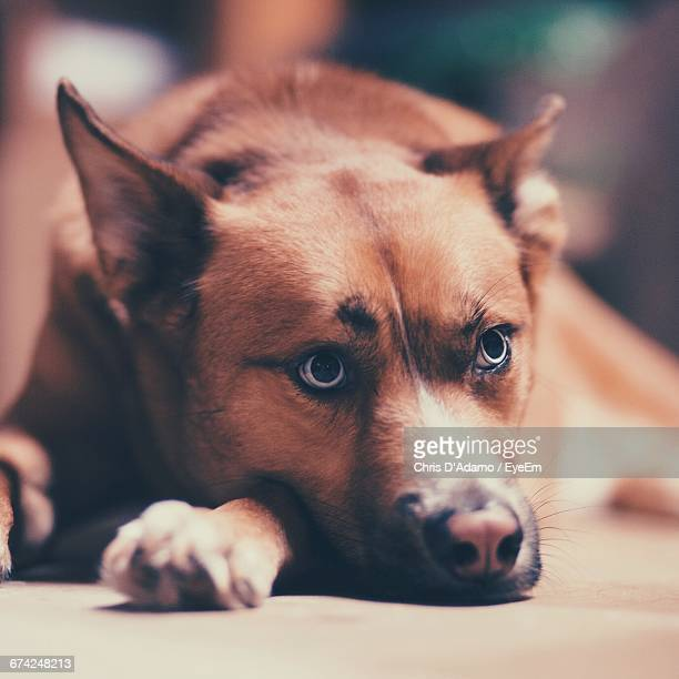 close-up of loyal brown dog indoors - adamo photos et images de collection