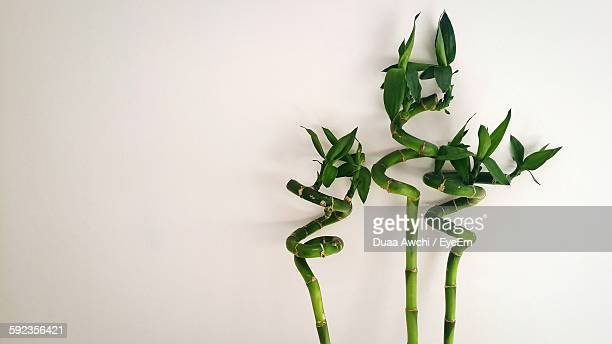 close-up of lucky bamboo against white background - bamboo plant stock photos and pictures