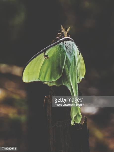 close-up of luna moth on dead plant in forest - luna moth stock pictures, royalty-free photos & images