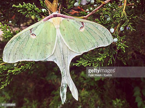 close-up of luna moth on tree - luna moth stock pictures, royalty-free photos & images