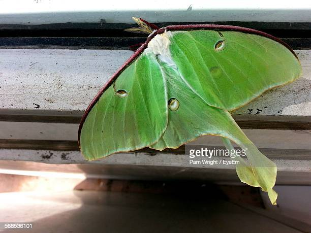 close-up of luna moth on window sill - luna moth stock pictures, royalty-free photos & images
