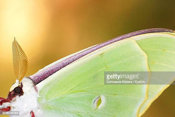 close-up of luna moth - luna moth stock pictures, royalty-free photos & images