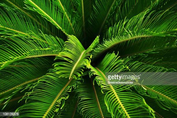Nahaufnahme von üppig grünen Palmfarn Pflanze Bush