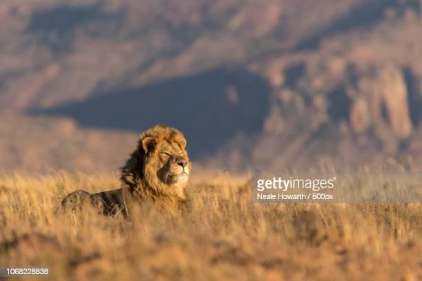 close-up of lying lion - tiere bei der jagd stock-fotos und bilder