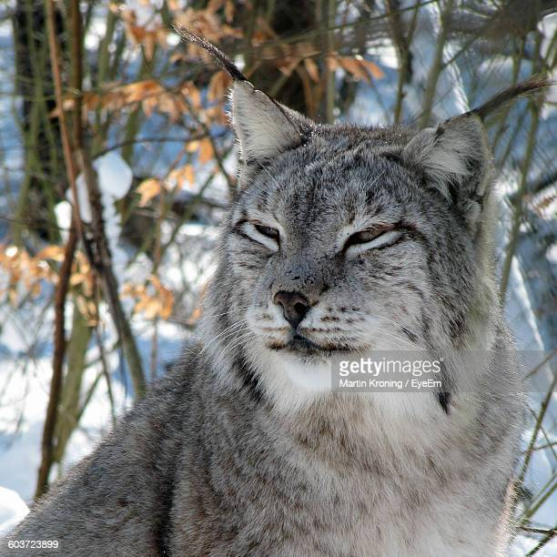 Close-Up Of Lynx Looking Away