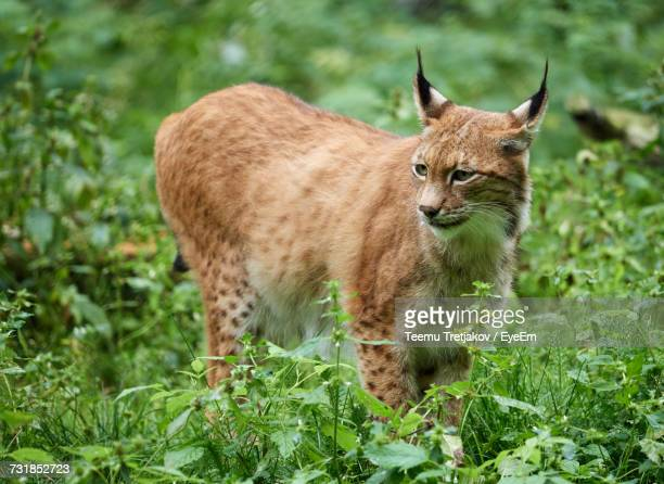 Close-Up Of Lynx On Grass