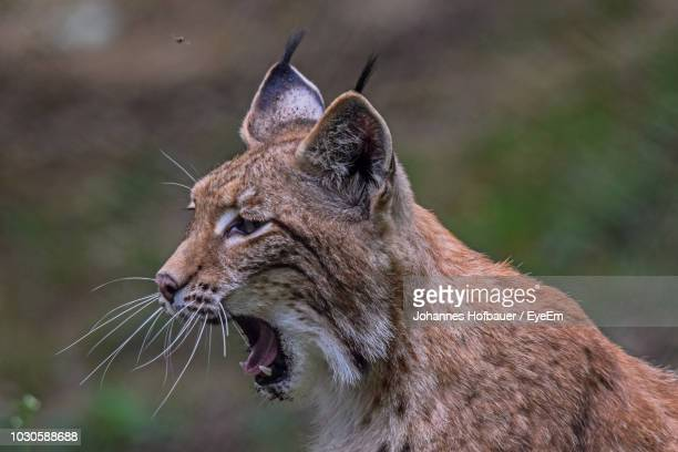 close-up of lynx yawning - lynx stock photos and pictures
