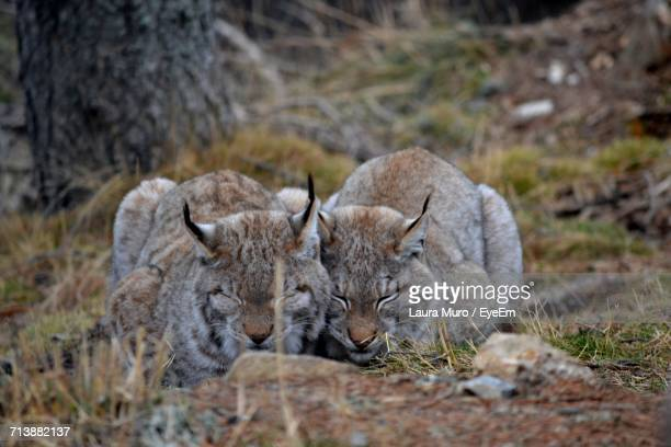 close-up of lynxes - muro stock photos and pictures
