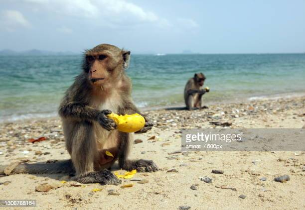 close-up of macaque holding baby girl sitting on sand at beach - hua hin thailand stock pictures, royalty-free photos & images