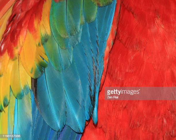 close-up of macaw feathers in vibrant colors of red, blue and yellow - tranquil scene foto e immagini stock
