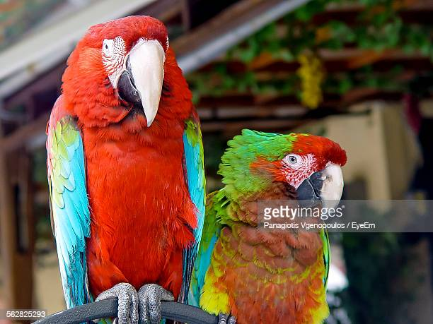 close-up of macaws - vgenopoulos stock pictures, royalty-free photos & images