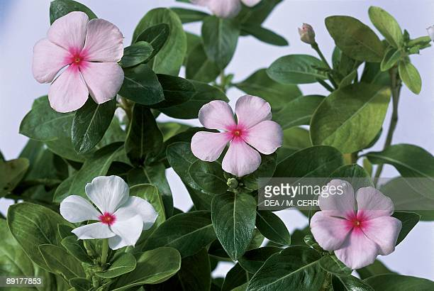 60 Top Vinca Flower Pictures, Photos, & Images - Getty Images
