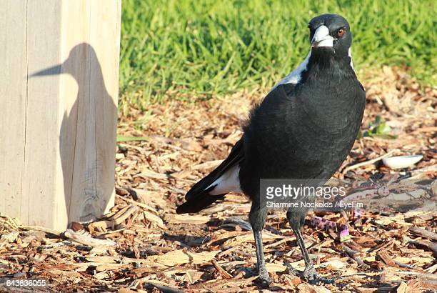 Close-Up Of Magpie Perching On Field