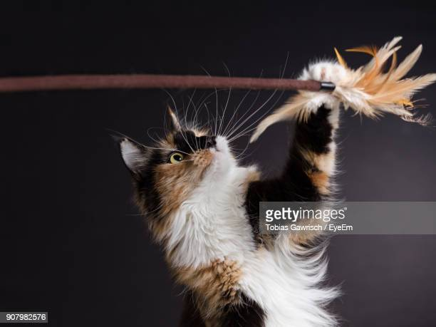 Close-Up Of Maine Coon Cat Playing With Feathers Against Black Background