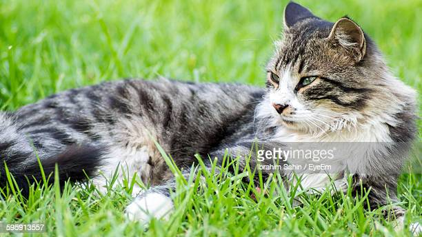 Close-Up Of Maine Coon Cat Relaxing On Grassy Field