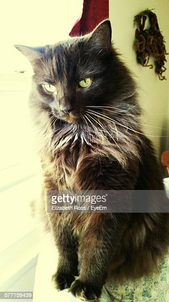 60 Top Maine Coon Cat Pictures, Photos and Images - Getty Images