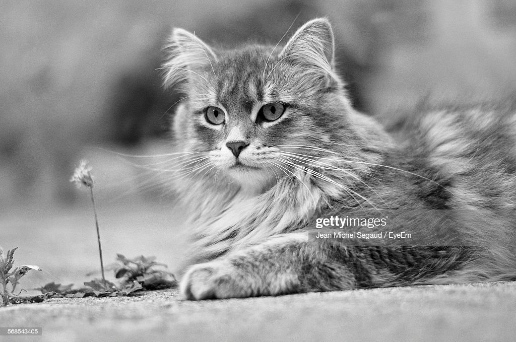 Close-Up Of Maine Coon Resting On Street : Stock Photo