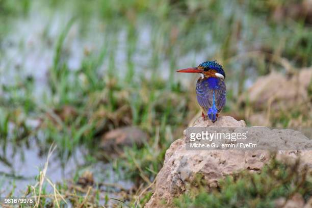 close-up of malachite kingfisher perching on rock - freshwater bird stock photos and pictures
