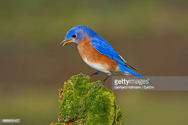 Close-Up Of Male Eastern Bluebird Perching On Twig