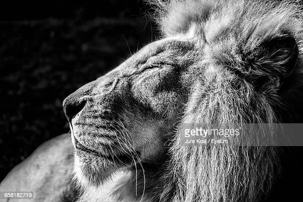 Close-Up Of Male Lion