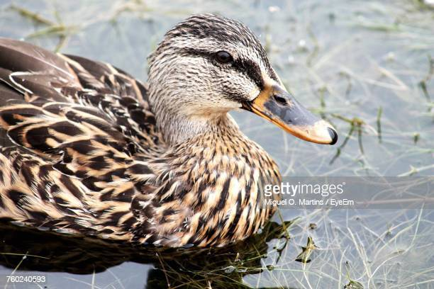 Close-Up Of Mallard Duck In Lake