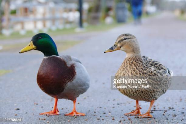 close-up of mallard duck - pelican stock pictures, royalty-free photos & images