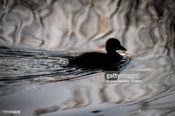 close-up of mallard duckling swimming in lake silhouette - st. albans stock pictures, royalty-free photos & images