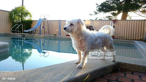 Close-Up Of Maltese Dog Standing At Poolside