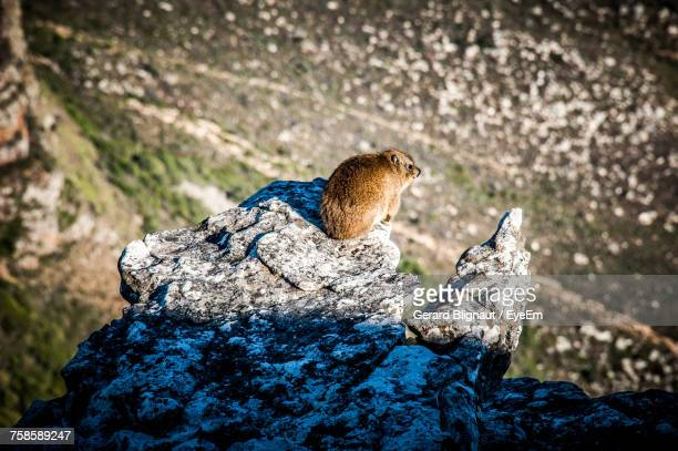 Close-Up Of Mammal On Rock