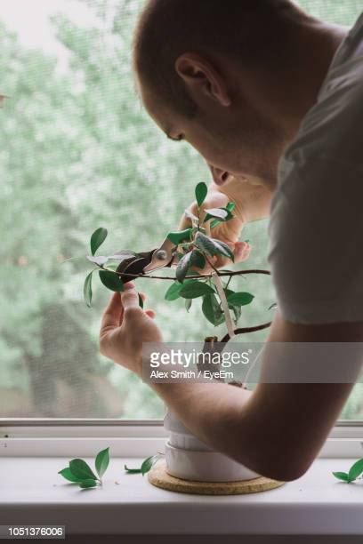 close-up of man cutting potted plant leaves on window sill - bonsai tree stock pictures, royalty-free photos & images
