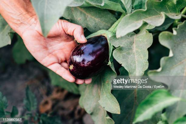 close-up of man holding eggplant growing on plant - eggplant stock pictures, royalty-free photos & images