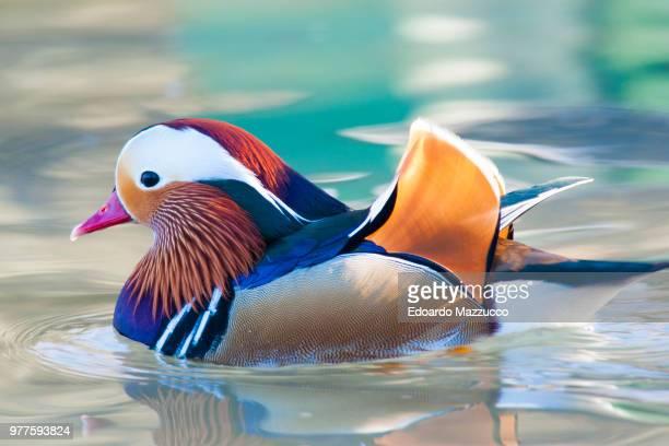 Close-up of mandarin duck swimming in water, Racconigi, Cuneo, Italy
