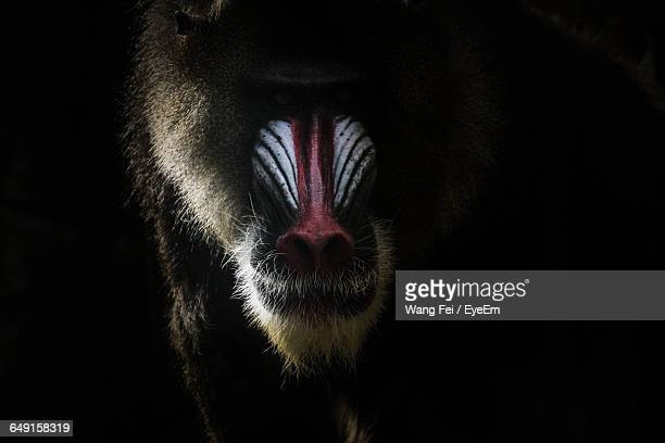 Close-Up Of Mandrill Against Black Background