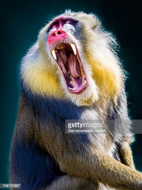 close-up of mandrill monkey yawning - baboon stock photos and pictures