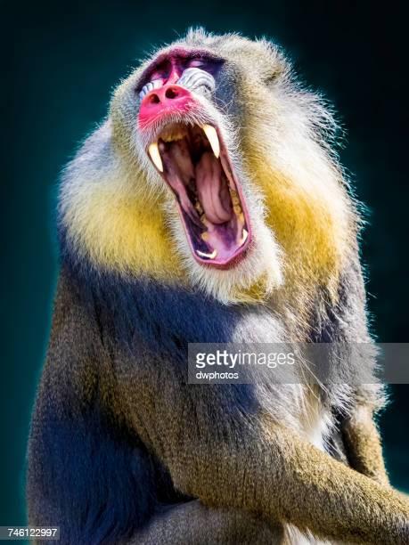 Close-Up Of Mandrill Monkey Yawning