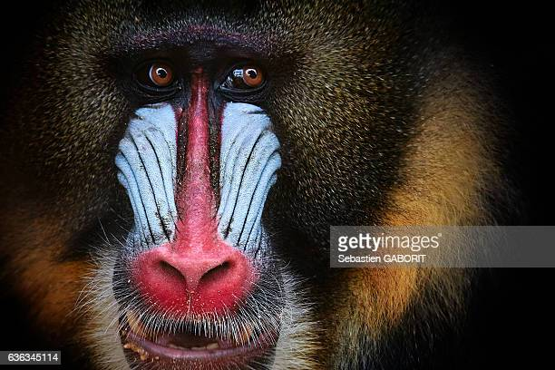 close-up of mandrill - rare stock pictures, royalty-free photos & images