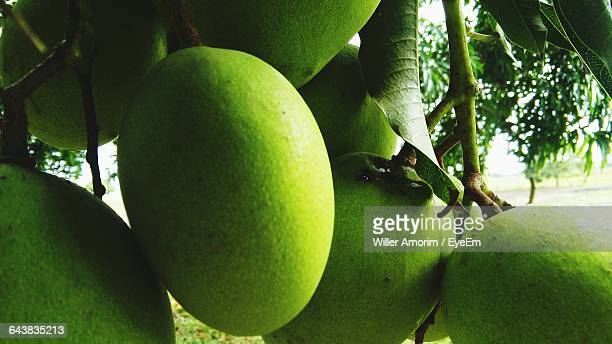 Close-Up Of Mangoes Growing On Tree