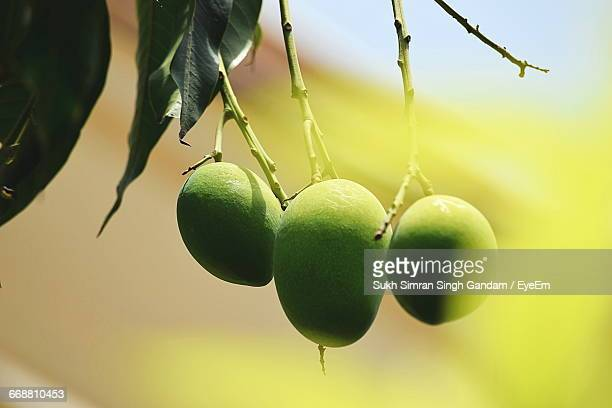 Close-Up Of Mangoes Hanging From Twig